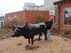 ox-humping